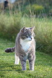 Cute adult gray cat standing in the grass Stock Photography