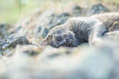 Cute adult grey cat with beautiful green eyes lying on a rock Stock Photography