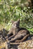 Cute adult grey cat with beautiful green eyes lying on a rock Royalty Free Stock Images