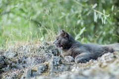 Cute adult grey cat with beautiful green eyes lying on a rock Royalty Free Stock Photography