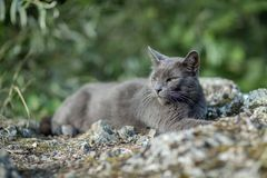 Cute adult grey cat with beautiful green eyes lying on a rock Royalty Free Stock Photos