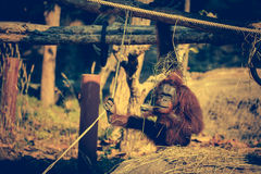 A cute adult Orangutan in the zoo. Cross Process. Royalty Free Stock Image