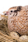 Cute adult quail Royalty Free Stock Photos