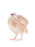 Cute adult quail Royalty Free Stock Image