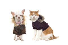 Cute adult red and white cat and chihuahua dog both sitting faci. Ng the camera wearing a winter coat  on a white background Stock Photography