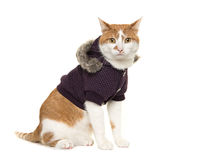 Cute adult red and white cat sitting wearing a winter coat Stock Photography