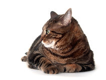 Cute adult tabby cat Royalty Free Stock Photo