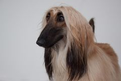 Cute afghan hound close up. Eastern greyhound or persian greyhound. Stock Photo