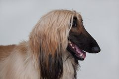 Cute afghan hound close up.  on gray background. Eastern greyhound or persian greyhound. Stock Photo