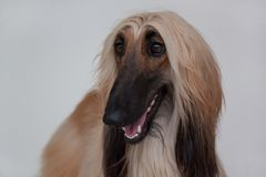 Cute afghan hound  on gray background. Eastern greyhound or persian greyhound. Royalty Free Stock Photography