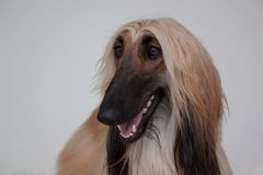 Cute afghan hound isolated on gray background. Eastern greyhound or persian greyhound. Stock Photo