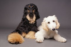 Cute afghan hound with puppy Royalty Free Stock Image