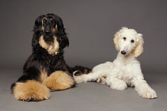 Cute afghan hound with puppy Royalty Free Stock Photos
