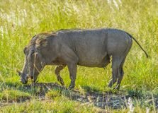 Cute African warthog in a game reserve in South Africa stock photos