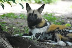 Cute african wild dog laying down under a tree Royalty Free Stock Images