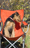 Cute Airedale puppy sitting  chair Stock Images