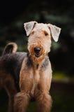 Cute Airedale Terrier portrait. Cute happy Airedale Terrier portrait in summer Royalty Free Stock Photography