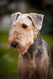 Cute Airedale Terrier portrait. Cute happy Airedale Terrier portrait in summer Stock Photos