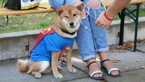 Cute Akita dog in a superman costume