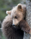 Cute Alaskan brown bear cub Royalty Free Stock Images