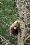 Cute Alaskan brown bear cub Royalty Free Stock Photo
