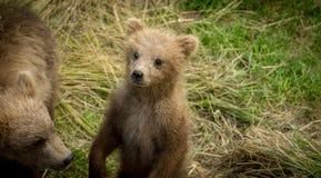 Cute Alaskan brown bear cub Stock Photography