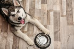 Cute Alaskan Malamute dog with bowl lying. On floor, top view stock photos