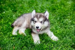Alaskan malamute puppy sitting in the grass. Cute alaskan malamute puppy in the grass outside Royalty Free Stock Photos