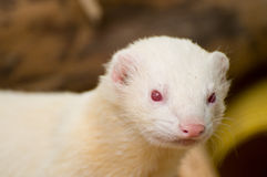 Cute Albino Ferret Stock Photos