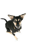 Cute, alert looking dog Stock Photos