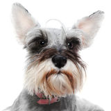 Alert dog with big ears. Cute alert pet dog with big ears up royalty free stock images