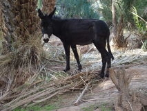 Cute alone black donkey between palms in Morocco. Cute alone black donkey waits between palms in arabian oasis in Morocco on 2017 warm sunny winter day, Africa Royalty Free Stock Photography