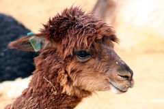 Cute Alpaca Royalty Free Stock Photography