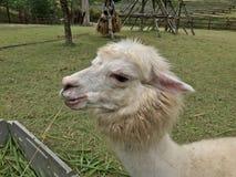 White alpaca in open zoo. Cute alpaca animal outdoor, wildlife in the nature, open zoo Royalty Free Stock Photos