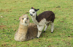 Cute alpaca with a baby. Small cute white alpaca in a herd on green meadow. Llamas and alpacas animals in South America Stock Photos