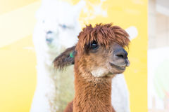 Cute Alpaca Royalty Free Stock Photo