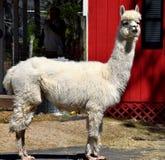 Cute Alpaca at Farm stock photography