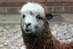 CUTE ALPACA LAMA ANIMAL PORTRAIT. A BROWN ALPACCA  WITH WHITE HEAD AND BIG, BLACK EYES Royalty Free Stock Photography