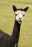 Cute alpaca portrait Royalty Free Stock Photo