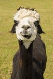 Cute alpaca portrait Royalty Free Stock Images
