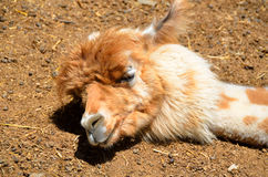 Cute alpaca sleeping Stock Image