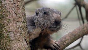 Alpine marmot portrait. A cute Alpine marmot portrait stock photos