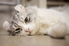 Cute American Curl Cat. American Curl cat. Close-up face Royalty Free Stock Photo