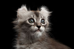 Cute American Curl Kitten with Twisted Ears Black Background. Close-up Fluffy American Curl Kitty with Twisted Ears and magic eyes Black Background, front view royalty free stock photos