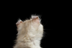 Cute American Curl Kitten with Twisted Ears Black Background. Close-up Head of Furry American Curl Kitty with Twisted Ears Black Background, Back view stock images