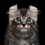 Cute American Curl Kitten with Twisted Ears Black Background. Close-up Portrait Fluffy American Curl Kitty with Twisted Ears and magic eyes Black Background royalty free stock photography