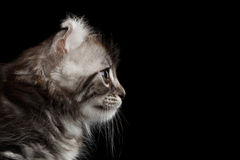 Cute American Curl Kitten with Twisted Ears Black Background. Close-up Portrait Fluffy American Curl Kitty with Twisted Ears Black Background, Profile view royalty free stock image