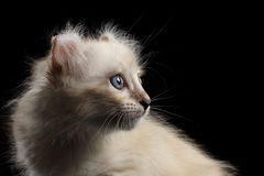 Cute American Curl Kitten with Twisted Ears Black Background. Close-up Portrait of Furry American Curl Kitty with Twisted Ears Black Background, Profile view royalty free stock photo