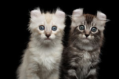 Cute American Curl Kitten with Twisted Ears Black Background. Close-up Two Fluffy American Curl Kittens with Twisted Ears Sitting on Black Background with royalty free stock photos