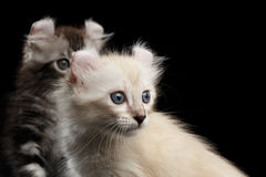 Cute American Curl Kitten with Twisted Ears Black Background. Close-up Two Furry American Curl Kittens with Twisted Ears Black Background, Profile view royalty free stock photo